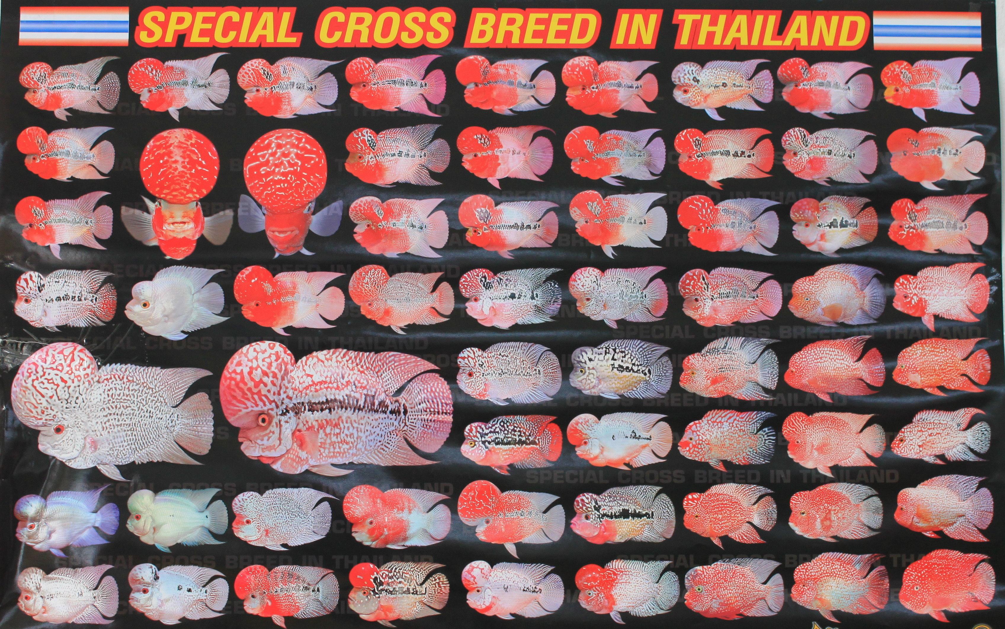 Flowerhorn-Zucht-Cross-Breed